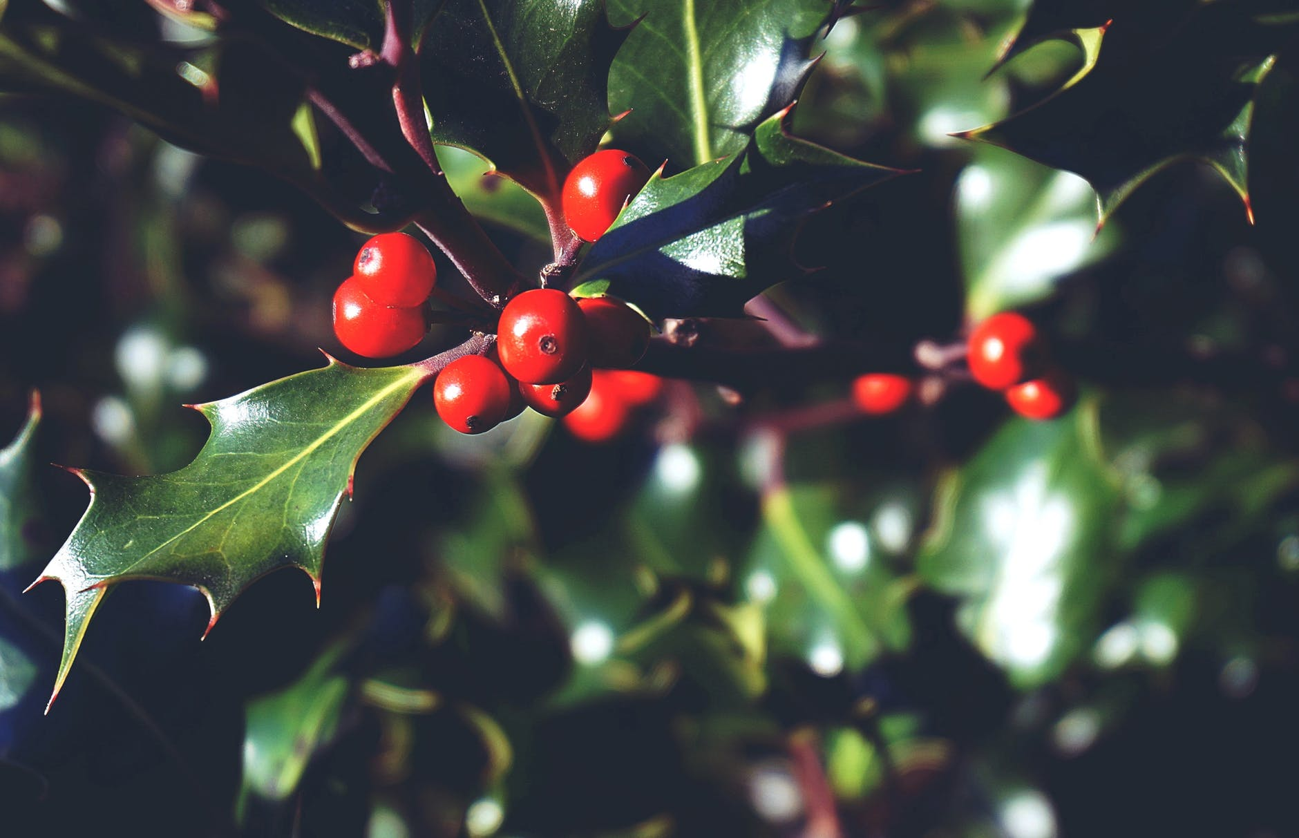 Some red berries on a green sprig of Holly.