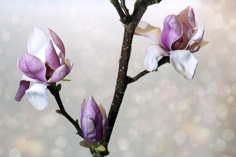 A magnolia flowering in the crisp, spring air.