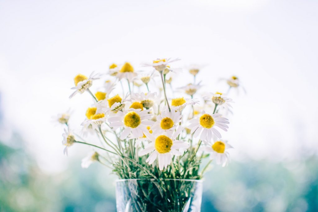 A bunch of daisies placed in a clear glass vase.